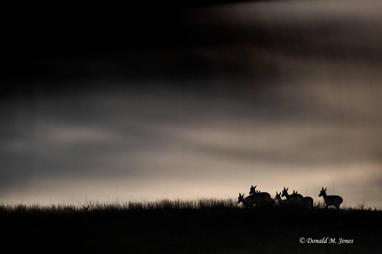 Pronghorn-Antelope5964D