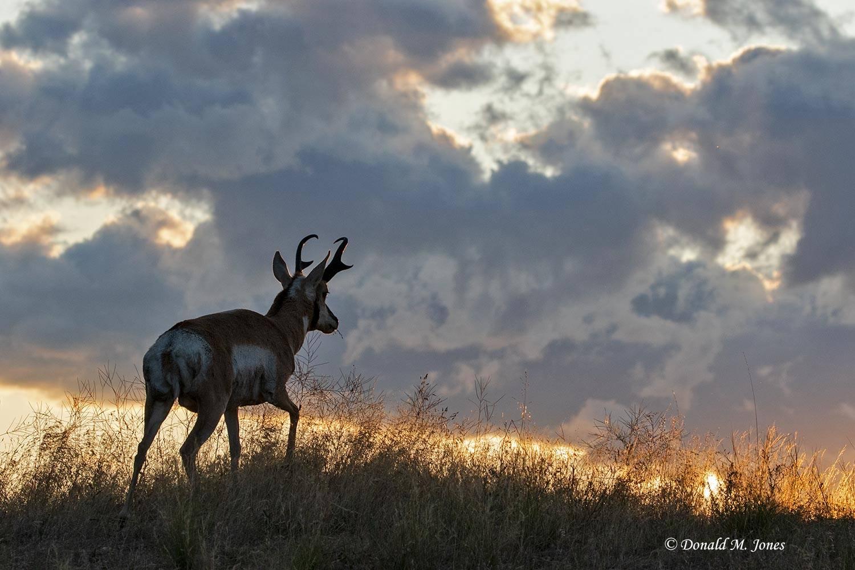 Pronghorn-Antelope05654D