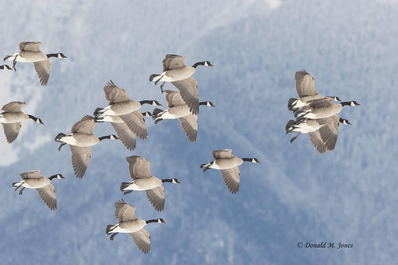 Canada-Goose1371D