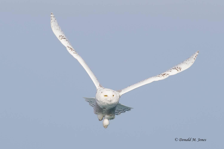 Snowy-Owl0483D