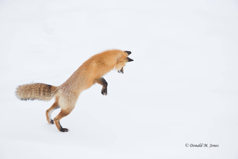 Red-Fox1173D