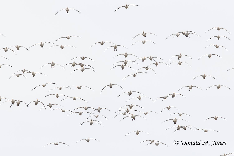 Snow-Goose2700D