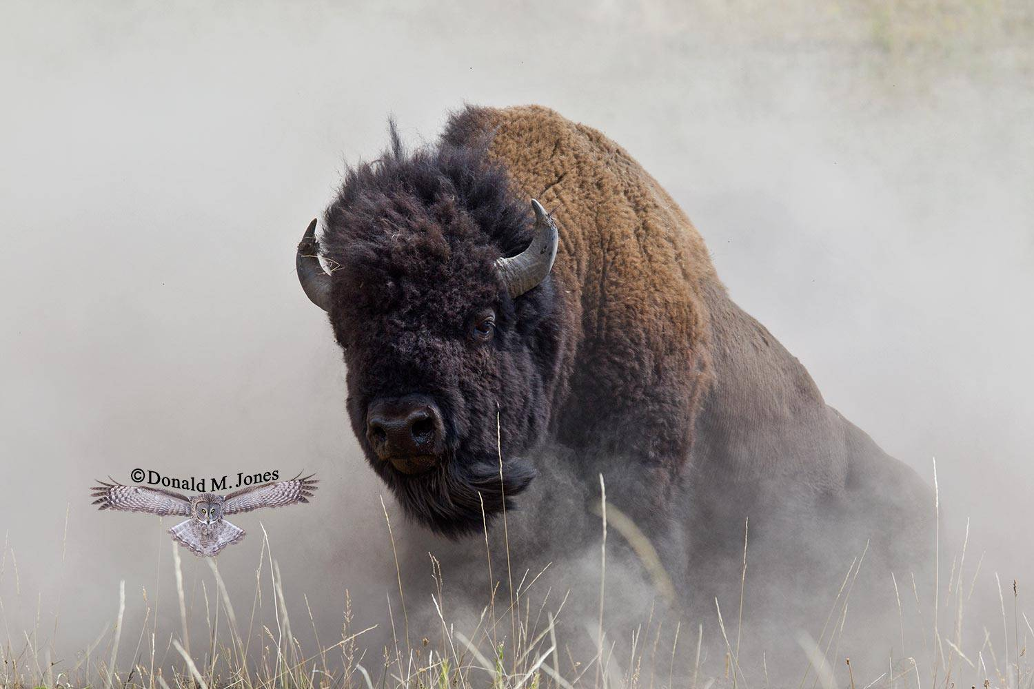 American-Bison01705D
