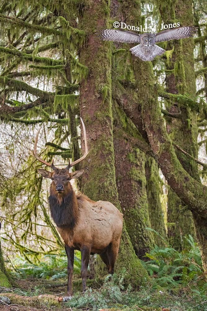 Elk-(Roosevelt)00209D