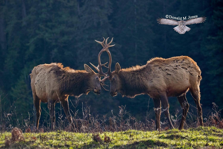 Elk-(Roosevelt)00149D