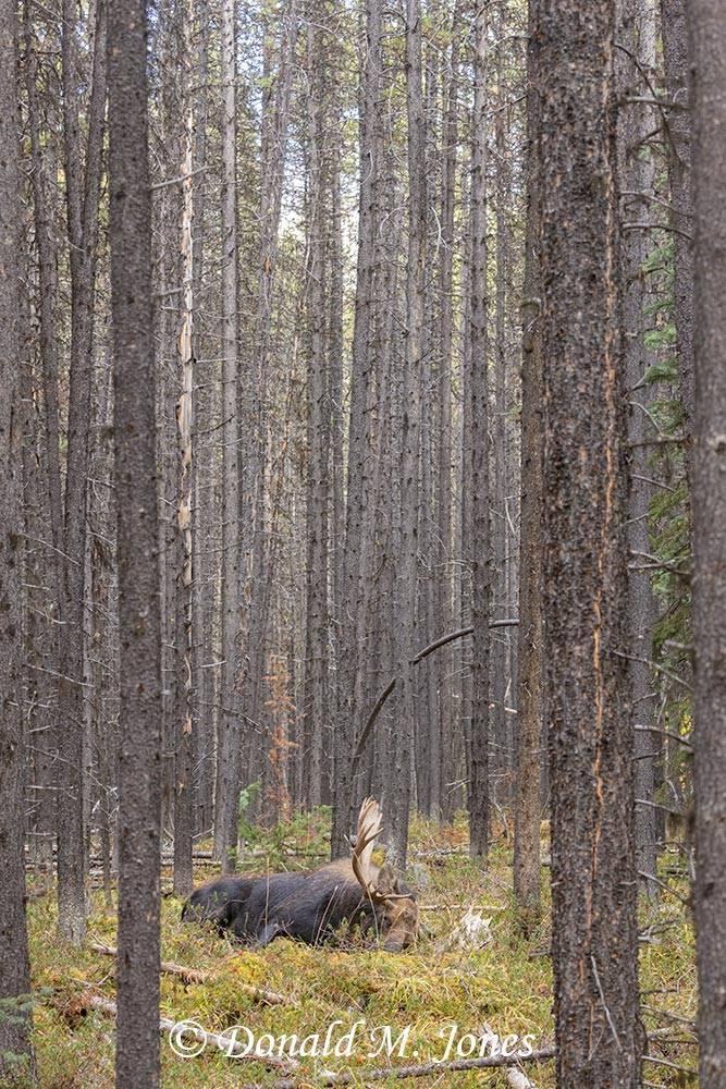Moose07574D