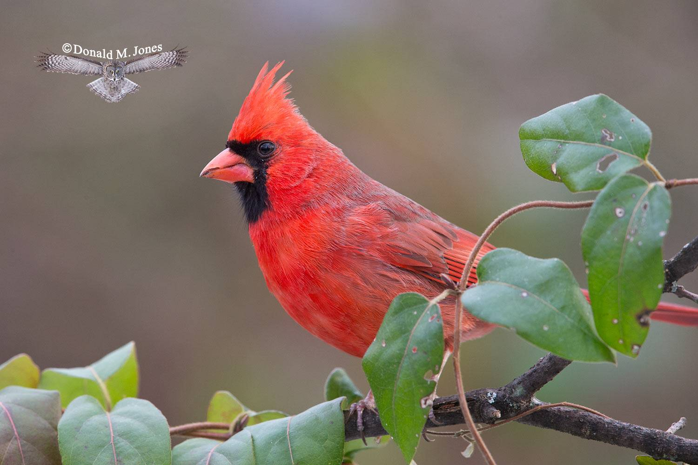 Northern-Cardinal0190D