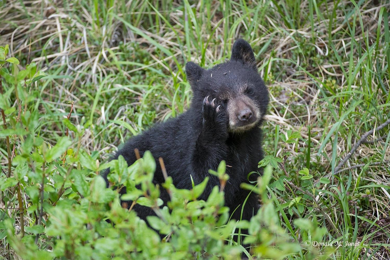 Black-Bear07513D