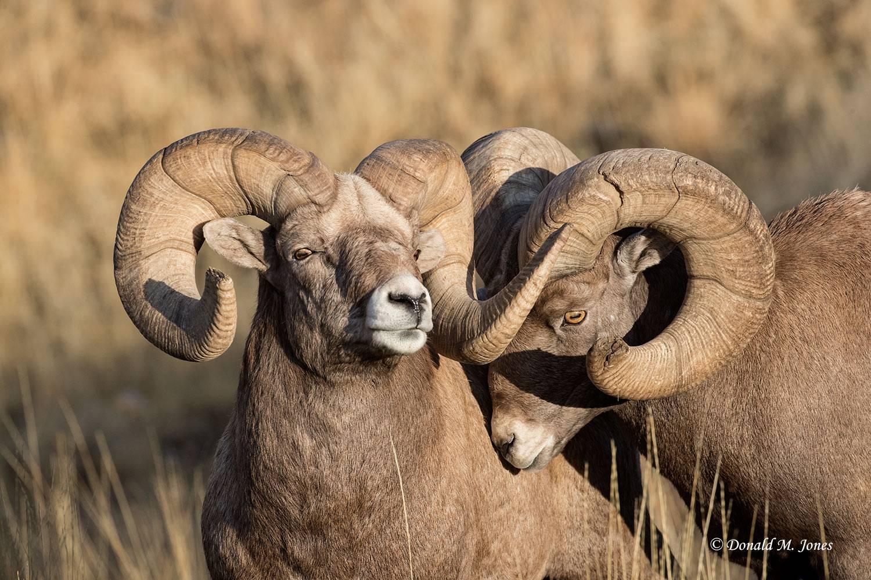 Bighorn-Sheep05590D