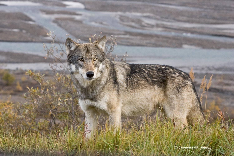 Wolf0497D