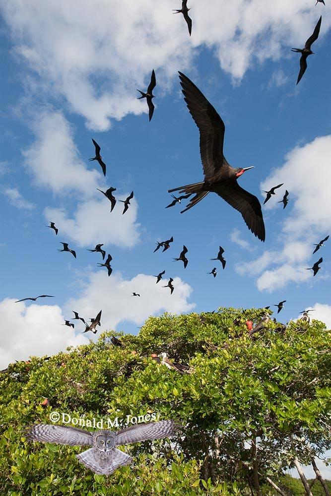 Magnificent-Frigatebird0109D