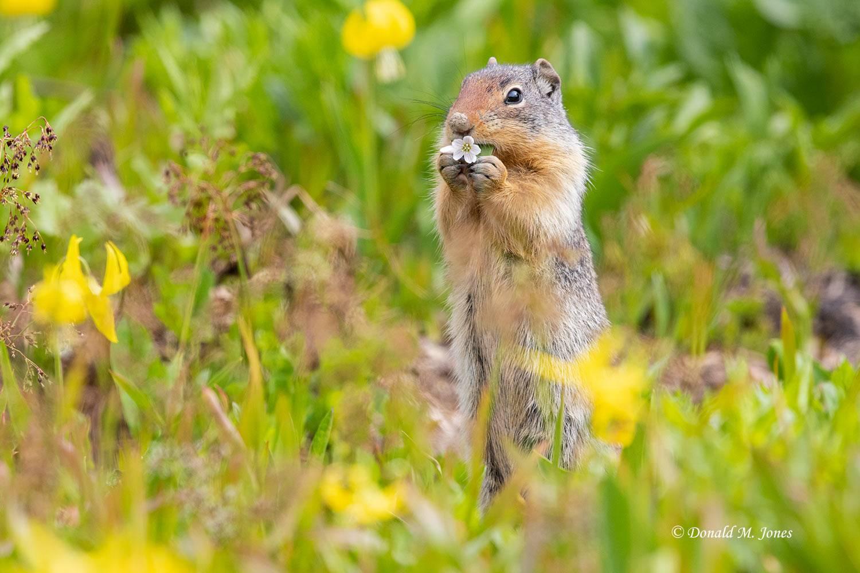 Columbian-Groundsquirrel0191D