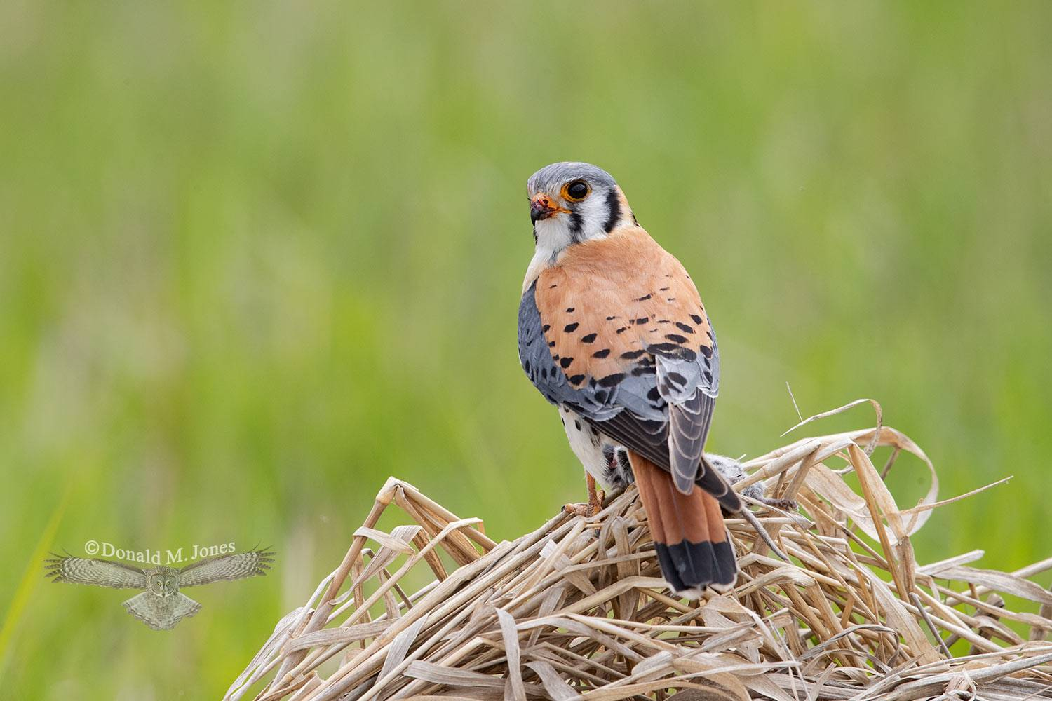 May 4 American Kestrel with vole