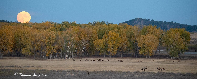 Elk-(Rocky-Mtn)28277D