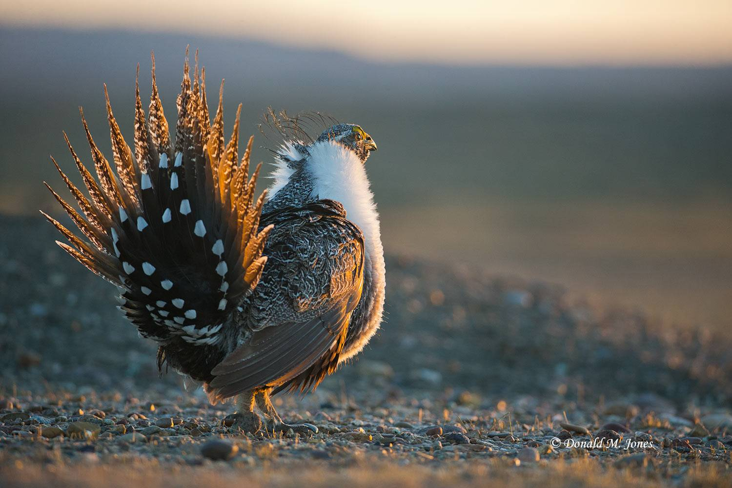 Greater-Sage-Grouse0937D