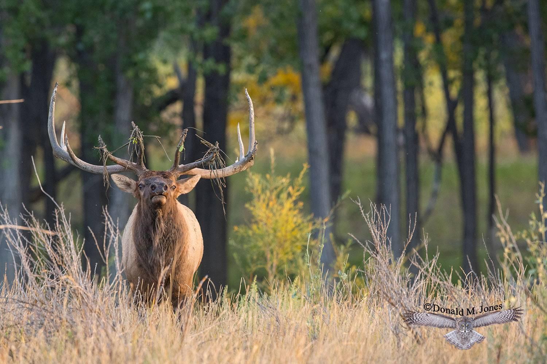 Elk-(Rocky-Mtn)25742D