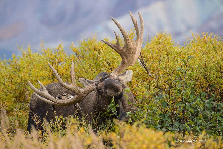 Moose06082D