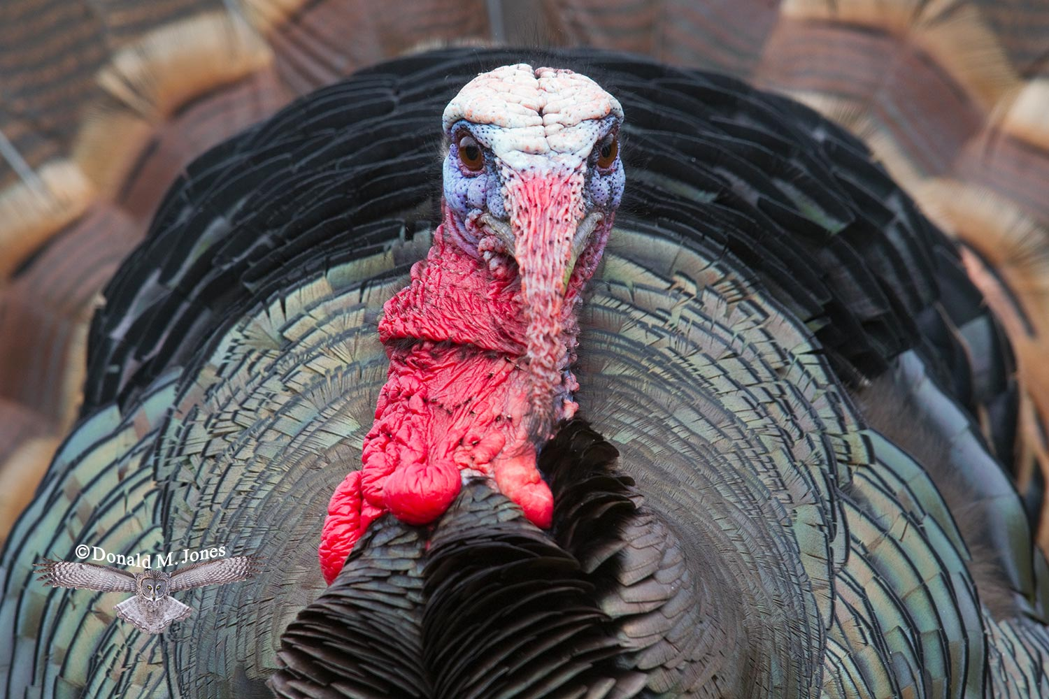 Wild-Turkey-(Merriams)09130D