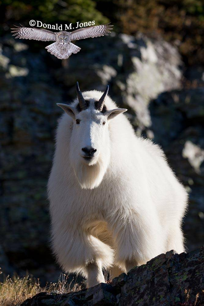 Mountain-Goat02833D