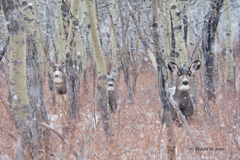 Mule-Deer08439D