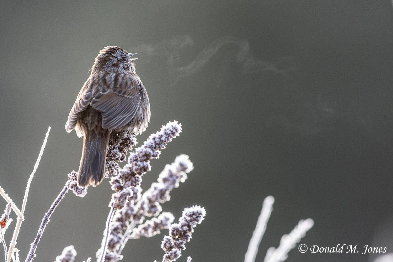Song-Sparrow0638D