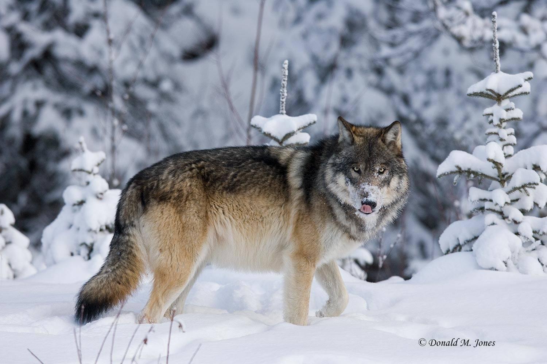Wolf0398D