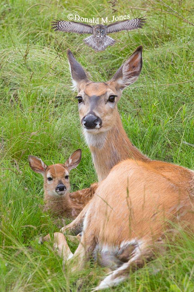 Whitetail-Deer45291D