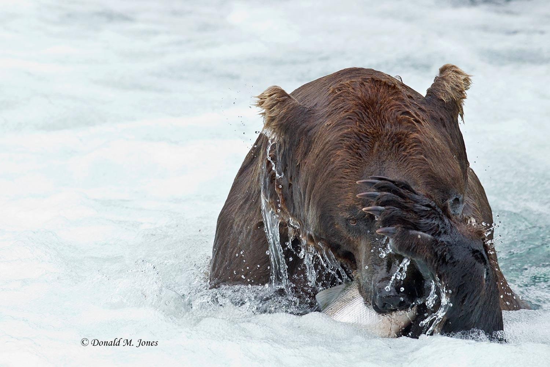 Brown-Bear00728D