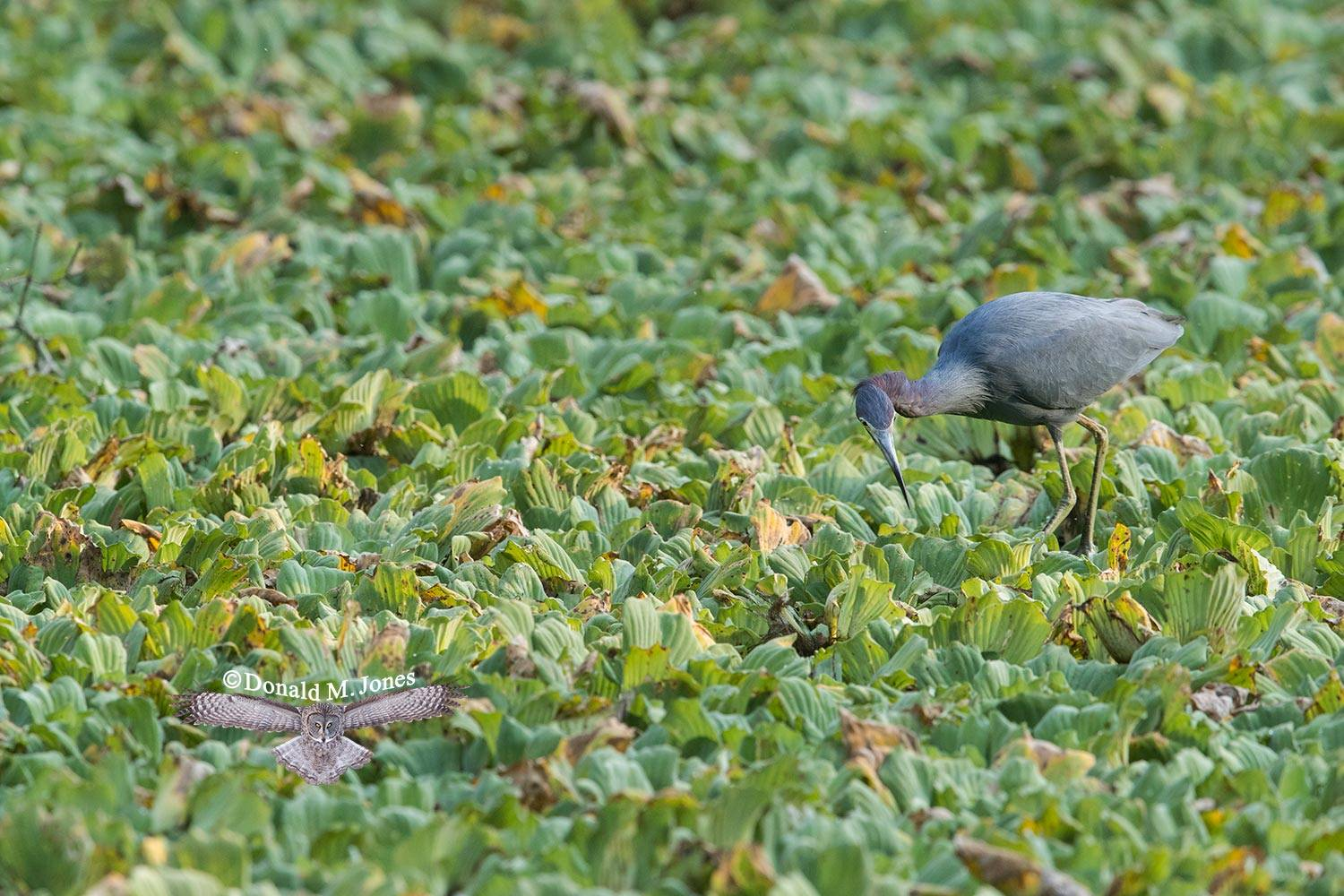 Little-Blue-Heron0126D