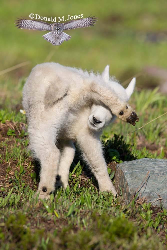 Mountain-Goat02488D