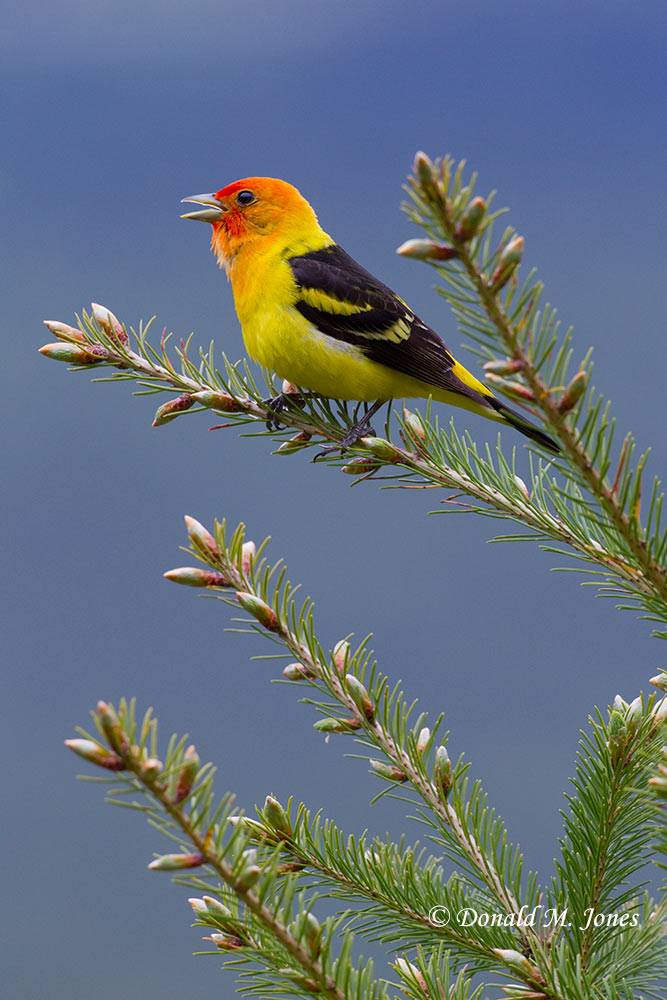Western-Tanager0524D