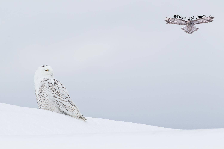Snowy-Owl0574D