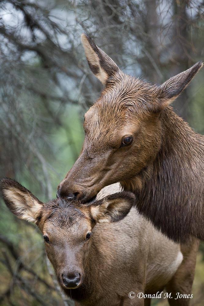 Elk-(Rocky-Mtn)22335D