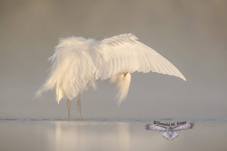 Snowy-Egret0247D