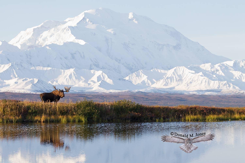 Moose05445D