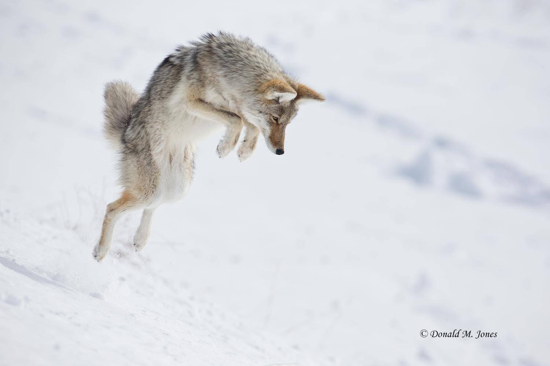 Coyote02451D