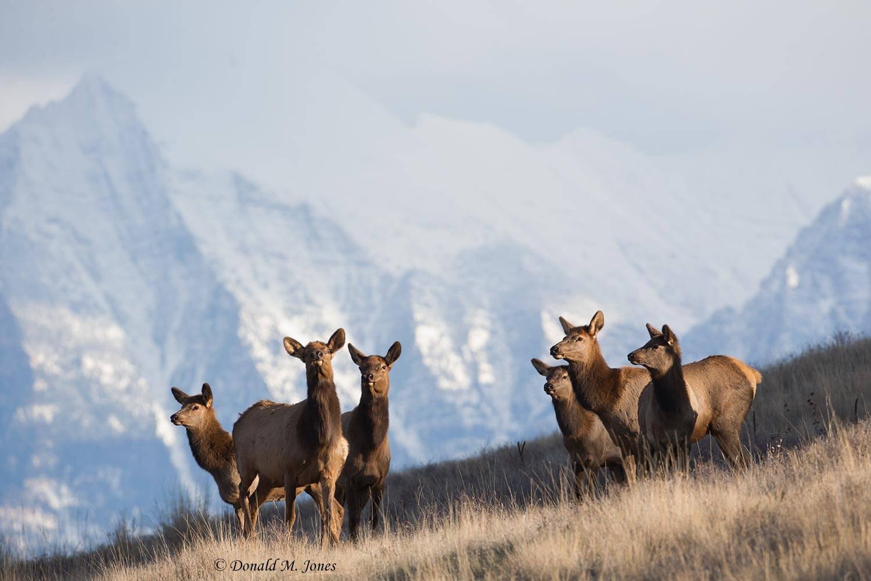 Elk-(Rocky-Mtn)22995D