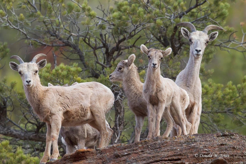 Desert-Bighorn-Sheep00144D