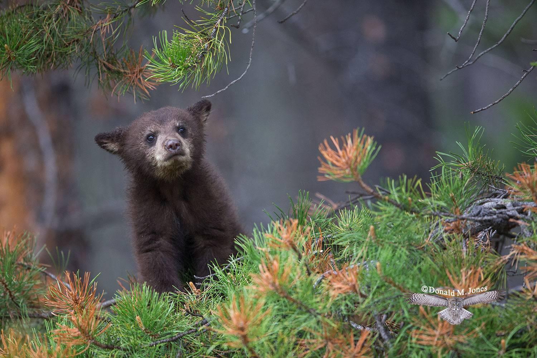 Black-bear06862D