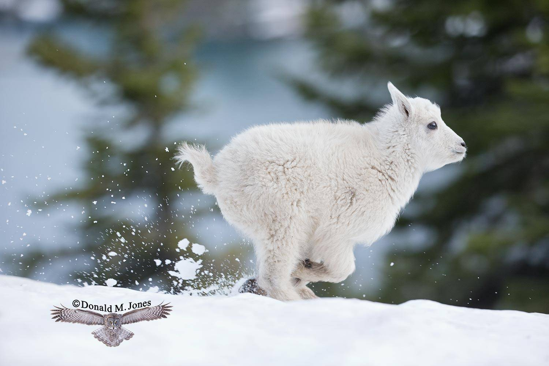 Mountain-Goat02690D