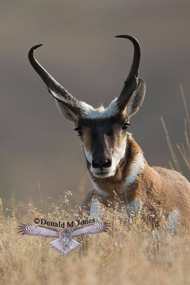 Pronghorn-Antelope04082D