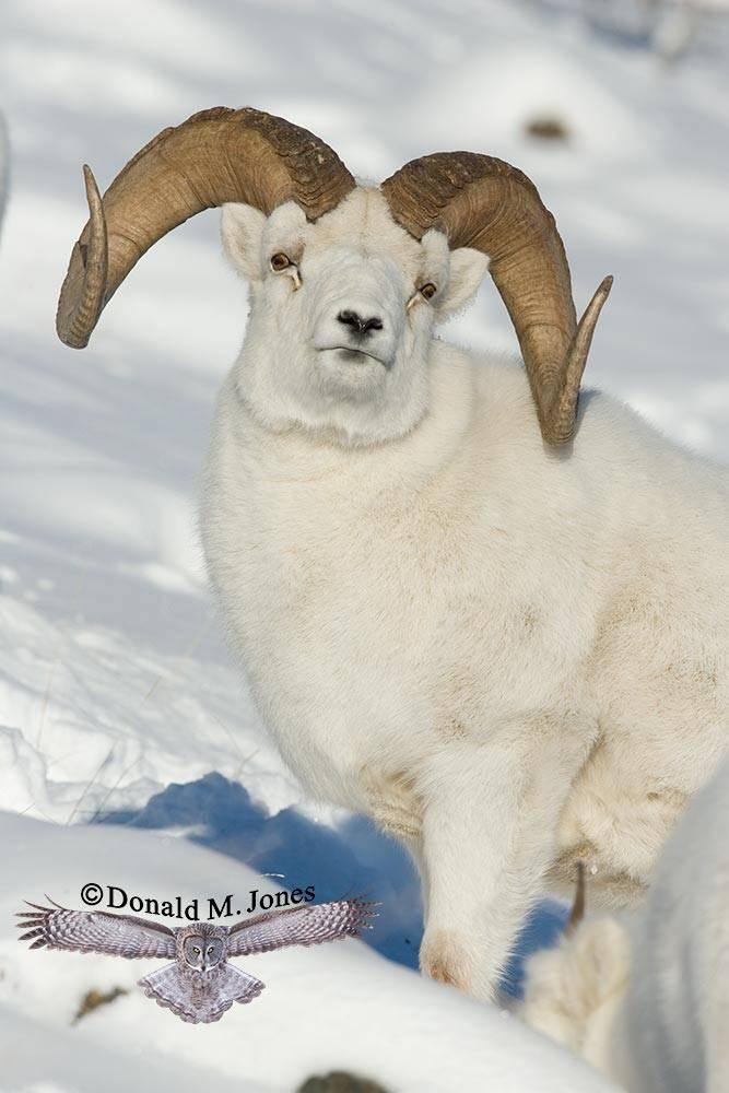 Dall-Sheep00909D