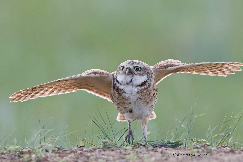 Burrowing-Owl0747D