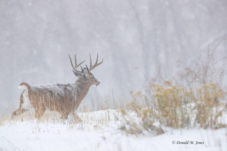 Whitetail-Deer59624D