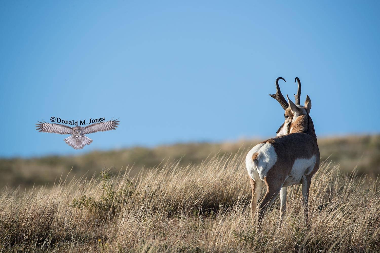 Pronghorn-Antelope04924D