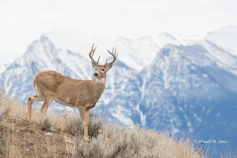 Whitetail-Deer56901D