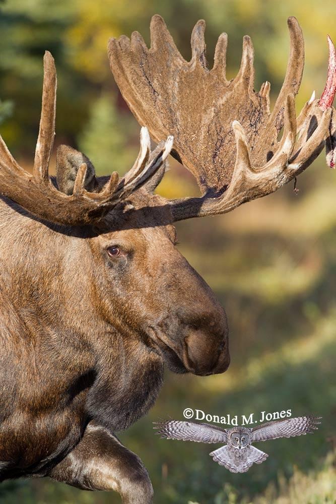 Moose03855D