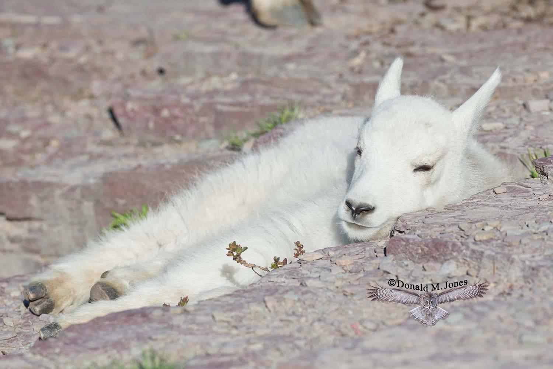 Mountain-Goat02566D