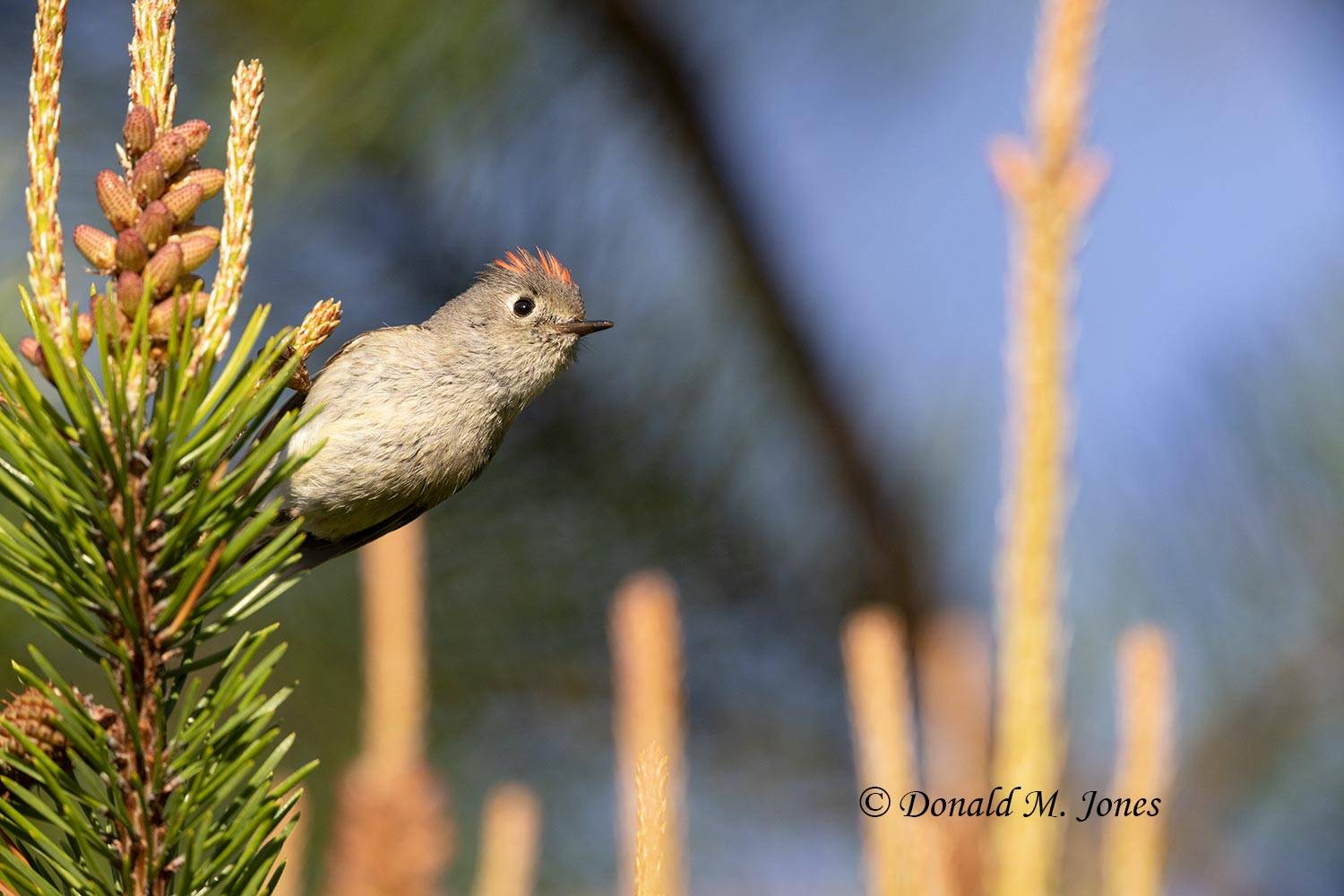 May 27 - Ruby-crowned Kinglet0084D