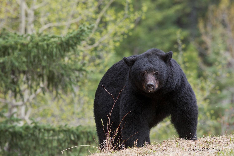 Black-Bear06220D
